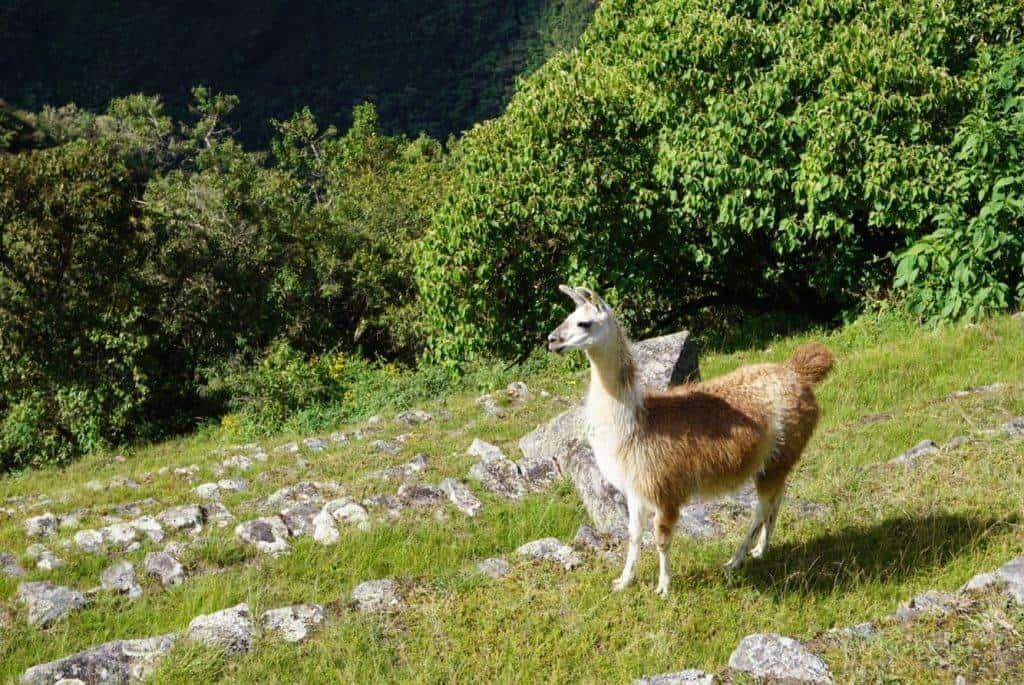 altitude at Machu Picchu2430 metres
