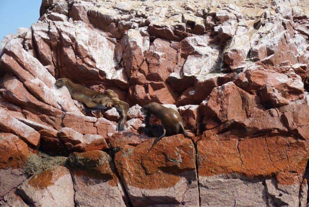 Seals in Paracas Peru