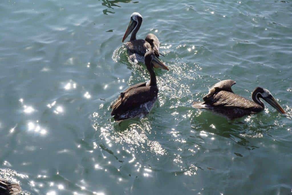 Pelicans in Paracas Peru