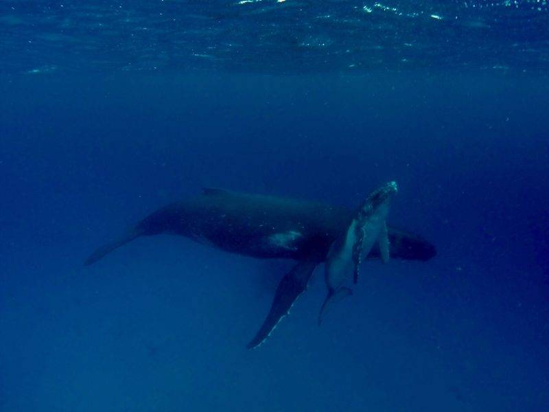 Swimming with Whales in Ha'apai Tonga