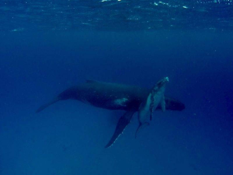 Swimming with Whales in Ha'apai Tonga