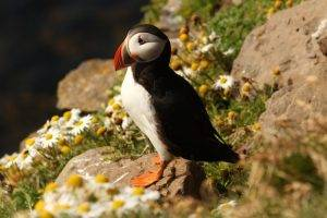 Puffins can be seen in Iceland in June