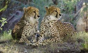 Two cheetahs seen through my binoculars
