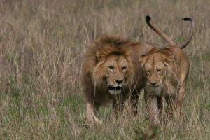 Best binoculars for safari to see the lions