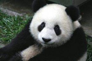 Pandas at the Beijing Zoo