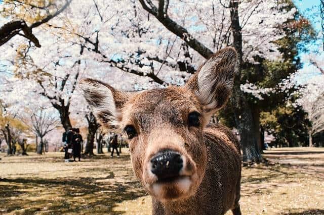 Nara Four Days in Kyoto