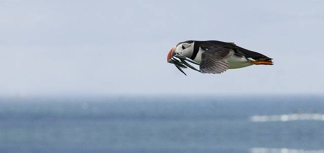 puffins flying - a flying puffin over Iceland
