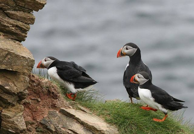 cute puffin photos
