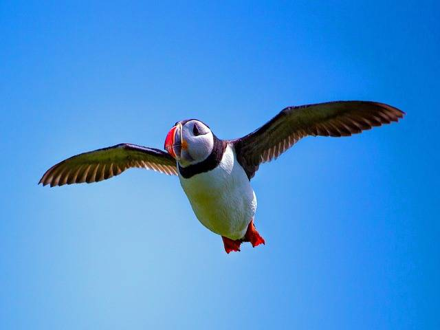 Puffin Tour Iceland - flying puffin