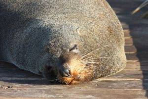 fur seals kaikoura attraction
